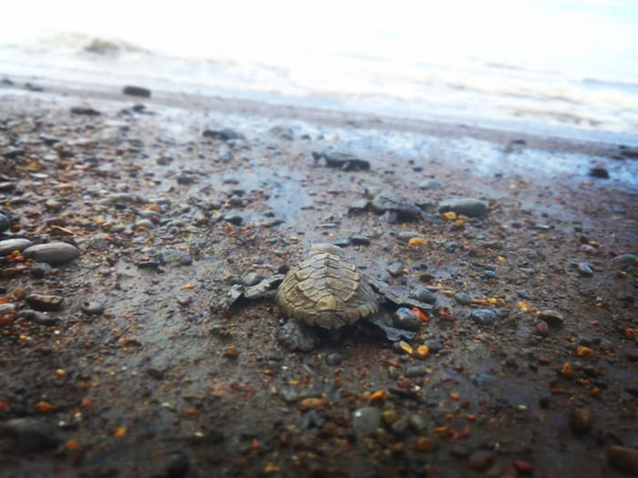 Camaronal: Race is on to save baby turtles from poachers (and raccoons)