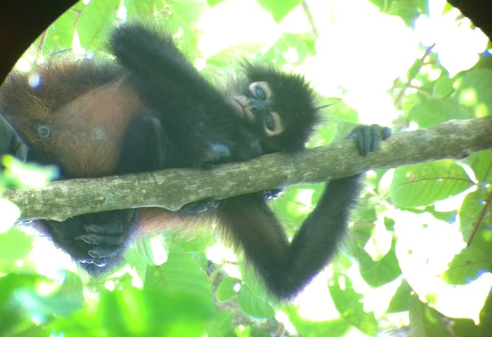 A young spider monkey spots a tourist at Corcovado National Park.