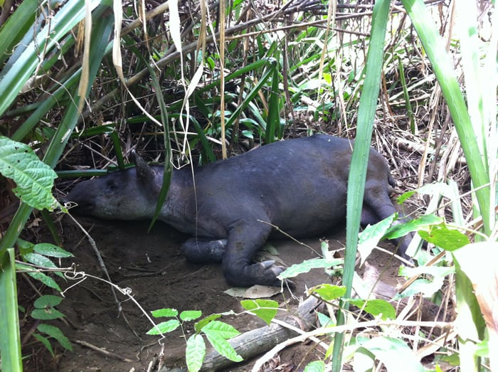 A male tapir snoozing in the shade near the beach.