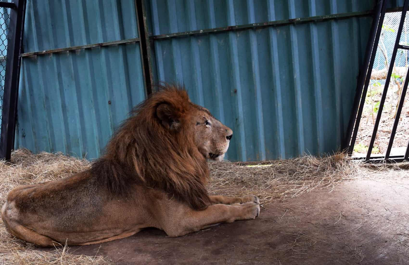 Kivú the lion at ZooAve