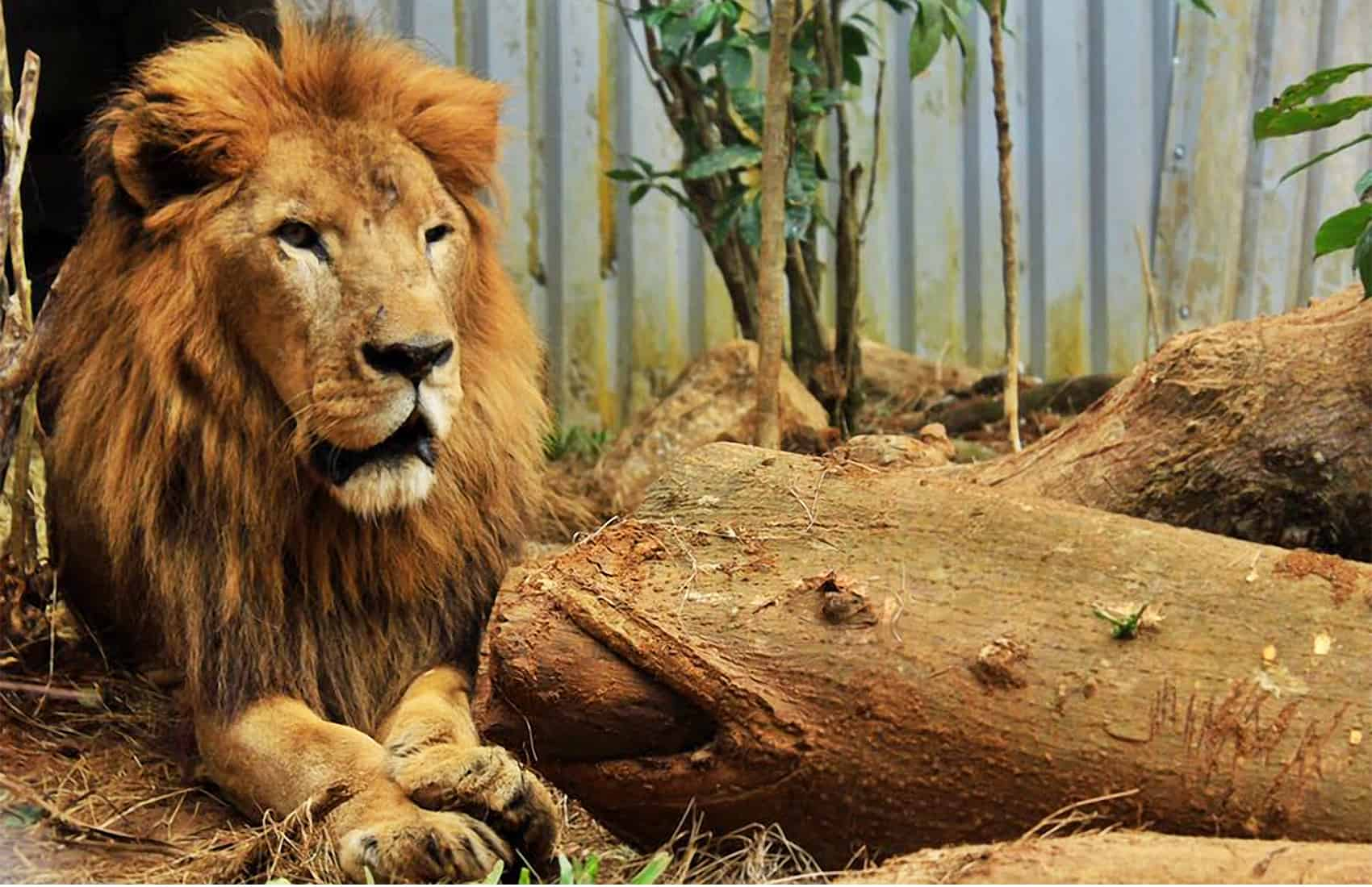 Kivú the lion. Feb. 2017.