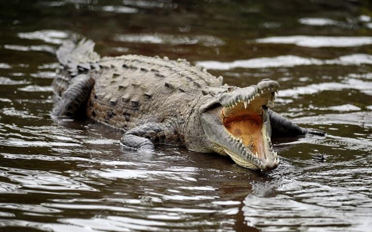 Lagarteada Crocodile death costa rica