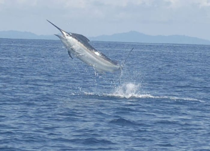 Although the numbers of sailfish caught were disappointingly low this year, anglers crushed all existing marlin catch records from previous tournaments.