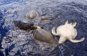Turtles killed by longline.