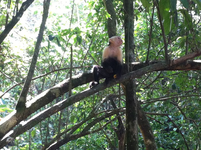 White-faced (capuchin) monkey.