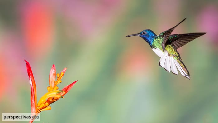 White-necked jacobin, male.