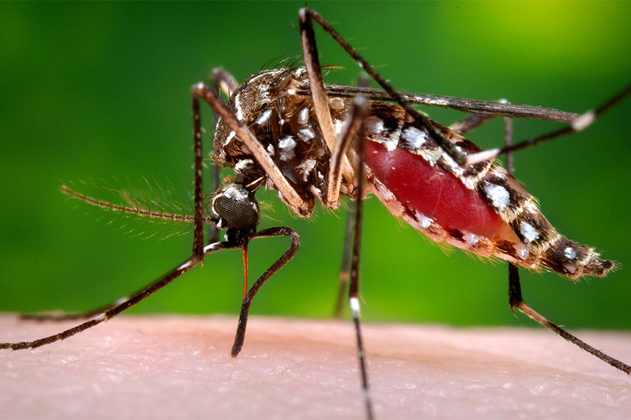 Aedes Aegypti mosquito, Zika virus carrier