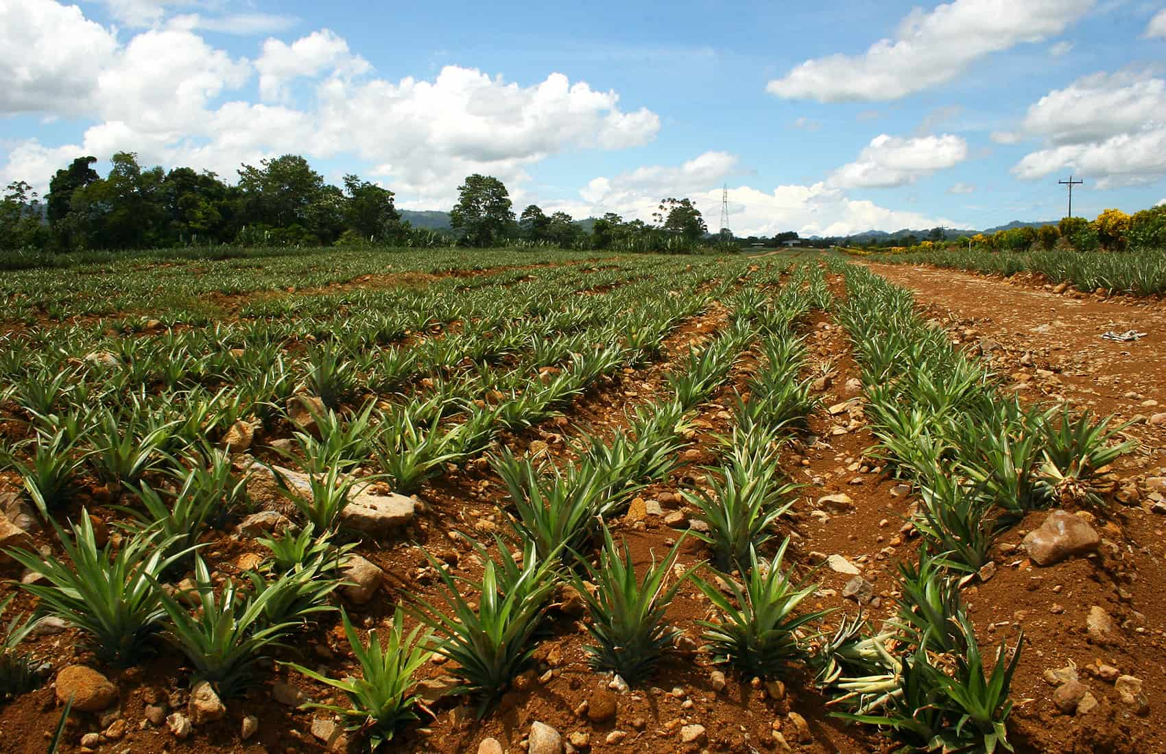 Pineapple farm in Costa Rica