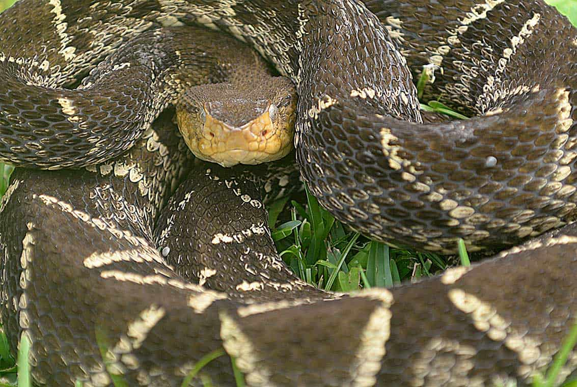 A coiled fer-de-lance snake.
