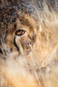 Namibia cheetah