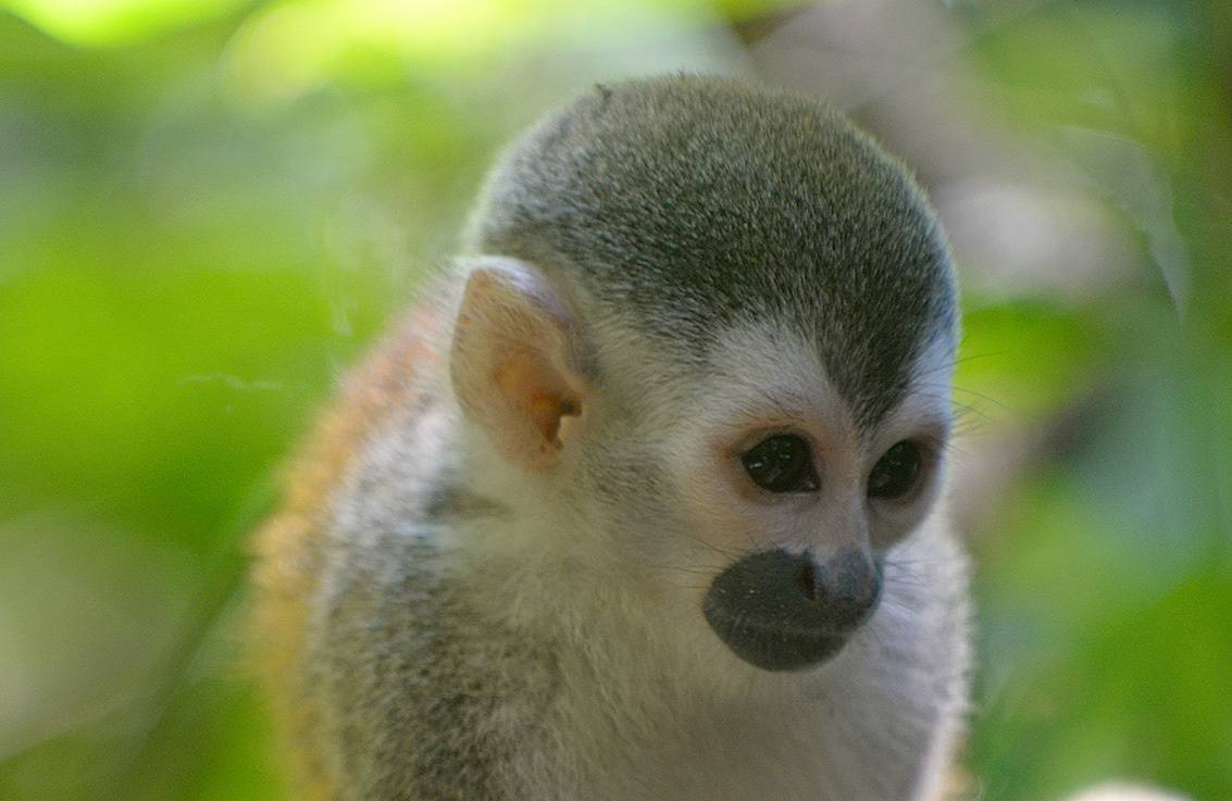 A squirrel monkey at Manuel Antonio National Park in Costa Rica.