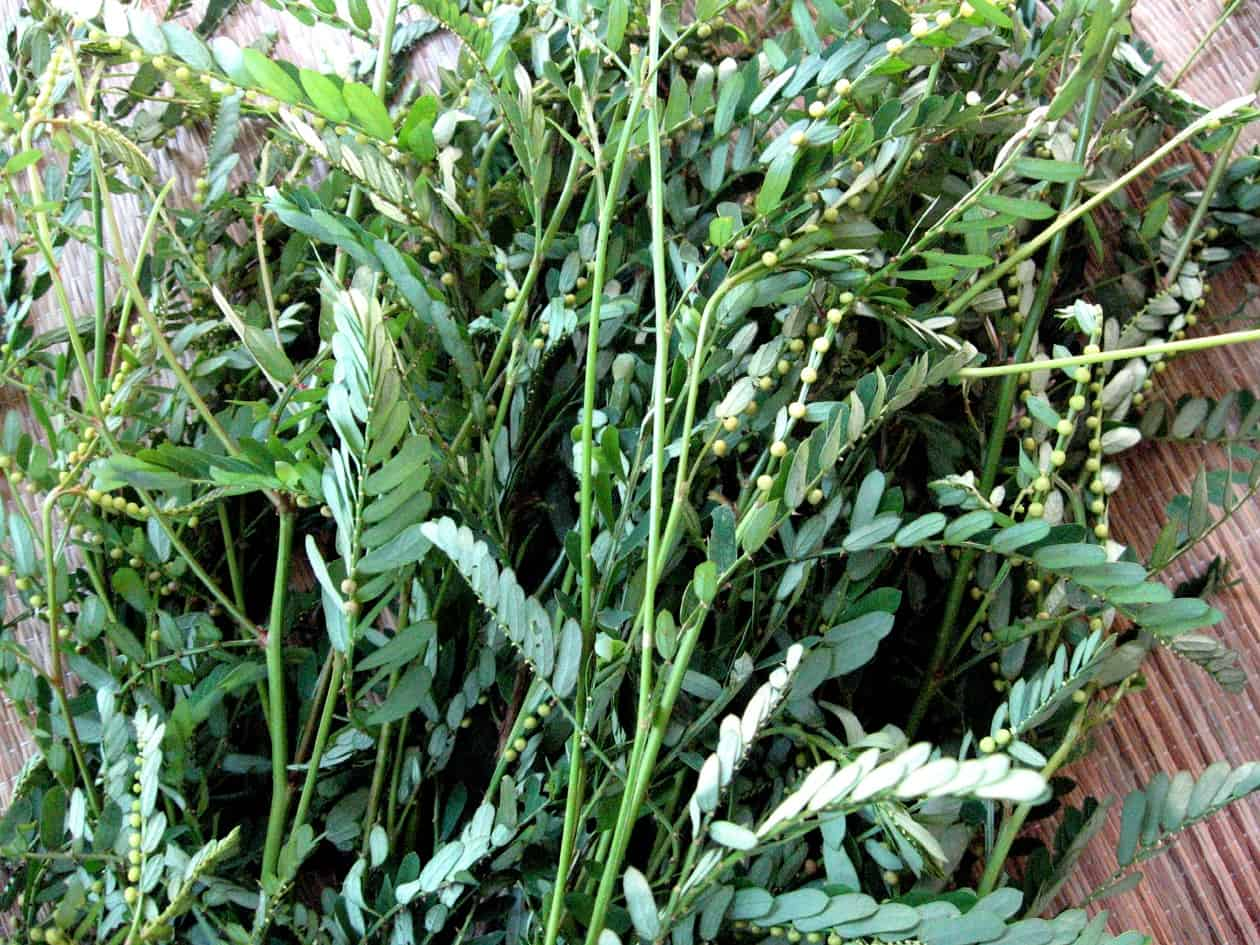 Another handy herb for a Costa Rican garden pharmacy – The