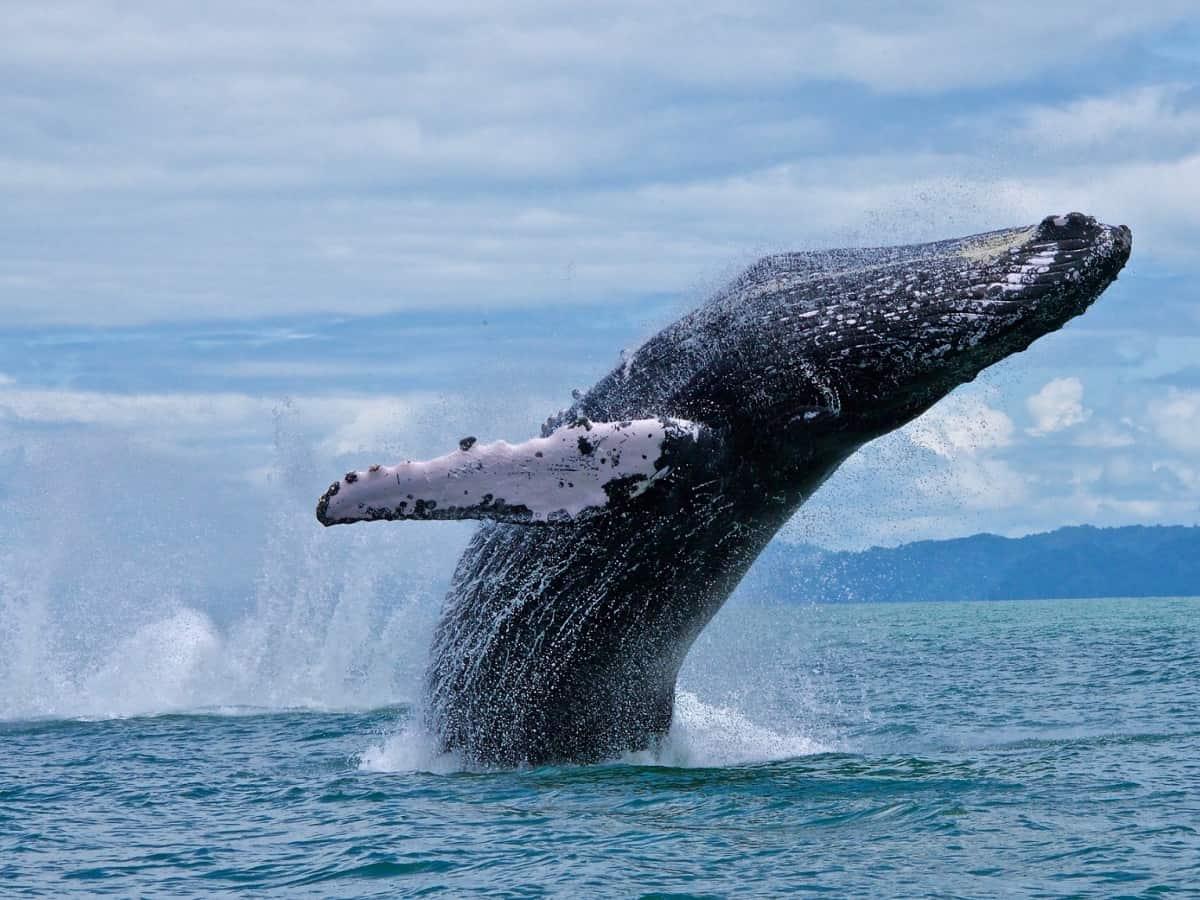 A humpback whale off the coast of Costa Rica's Osa Peninsula.