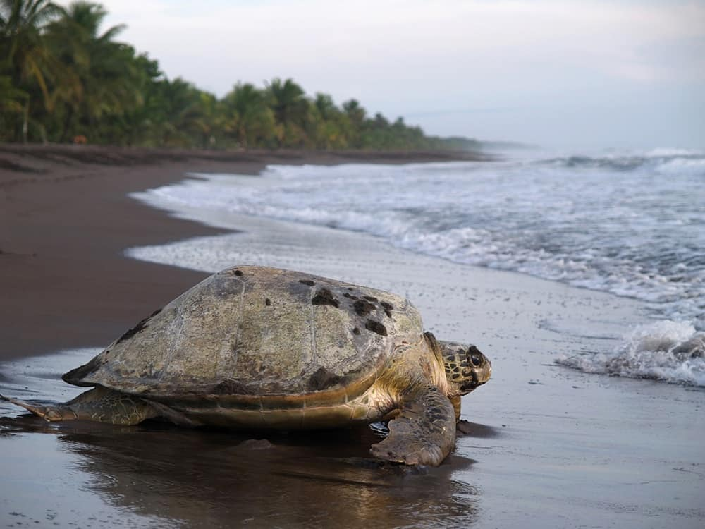 A sea turtle prepares to lay her eggs at Tortuguero National Park, Costa Rica.
