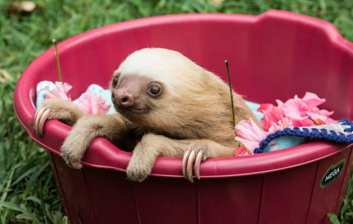 Goldie the sloth
