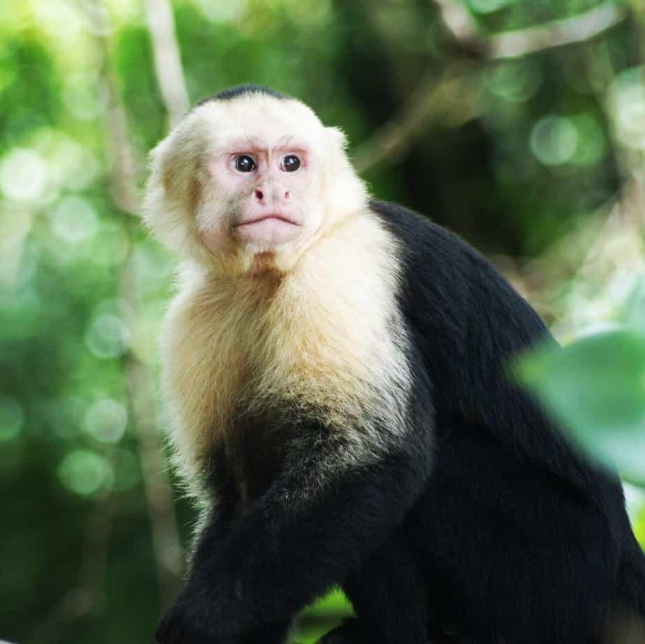 A white-faced capuchin monkey at Manuel Antonio National Park