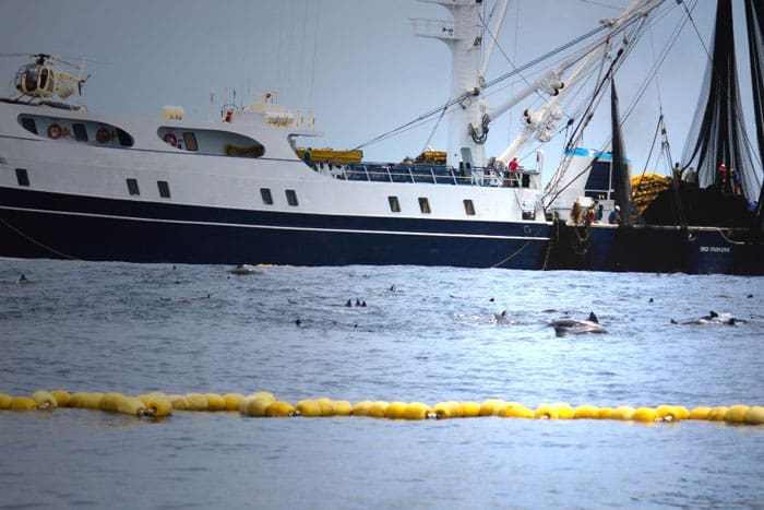 A purse seiner set ontop of dolphins to catch the tuna below.