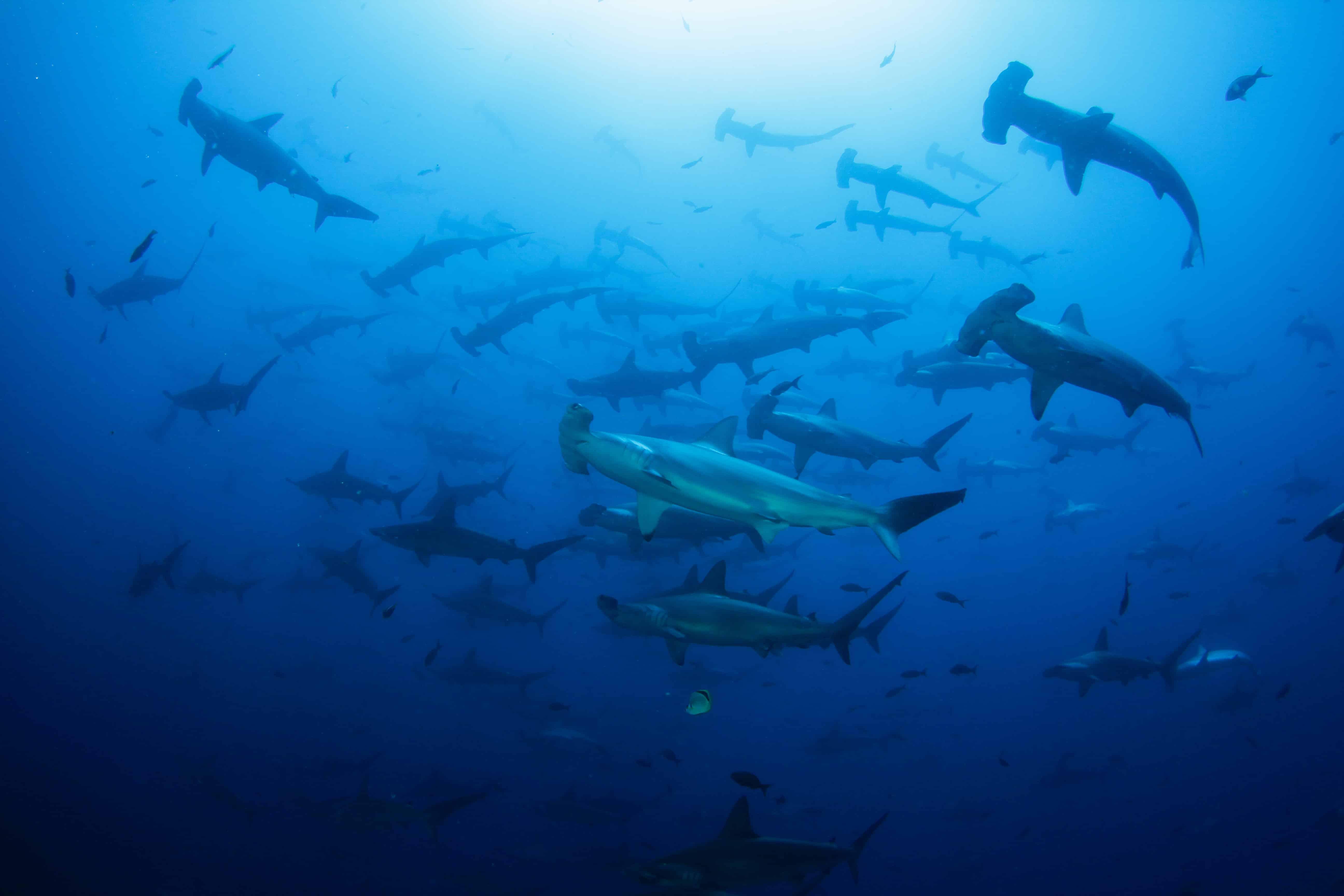 Hammerhead sharks in Costa Rica
