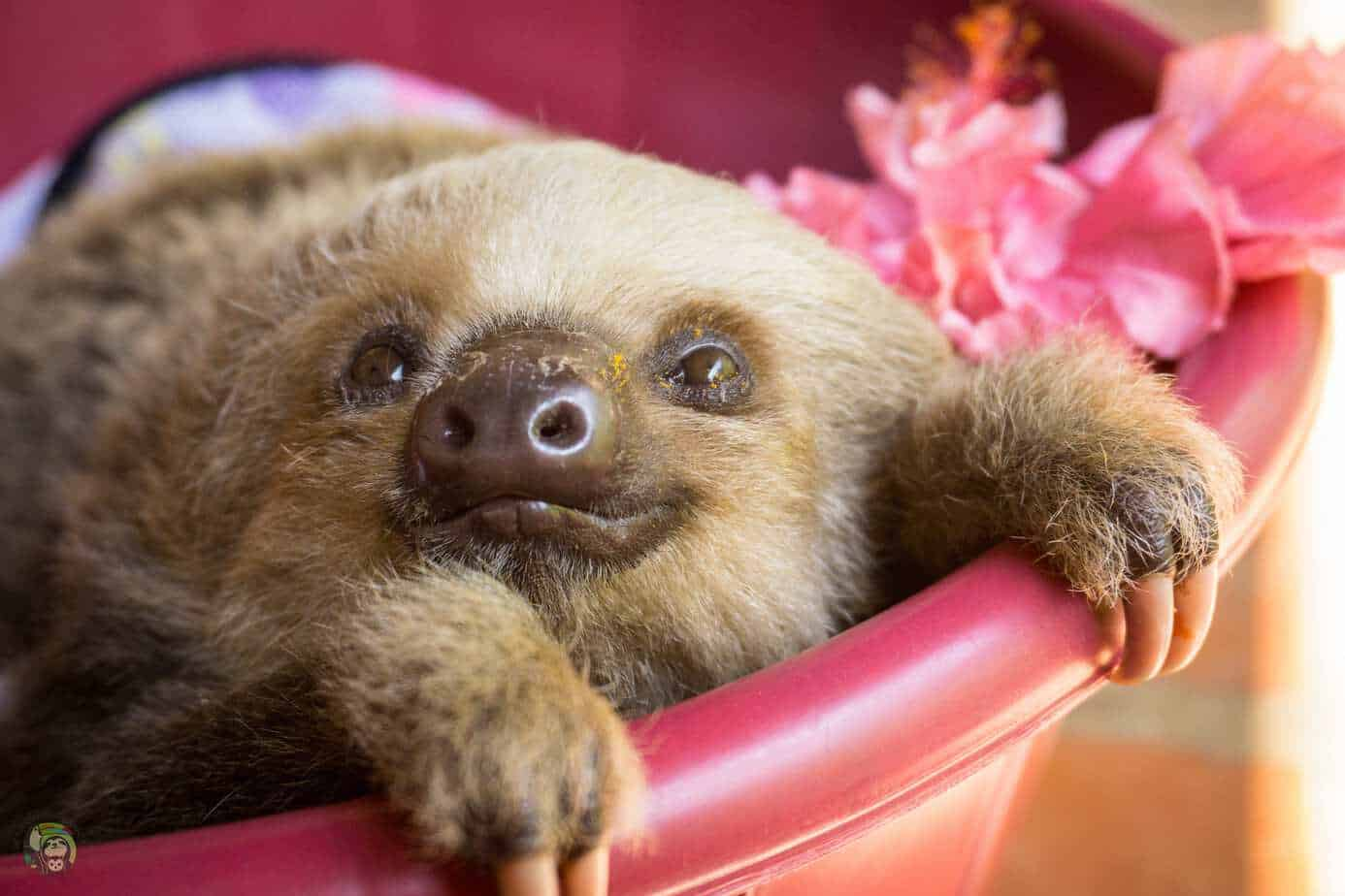 Anise, a two-fingered sloth at Toucan Rescue Ranch in Costa Rica.