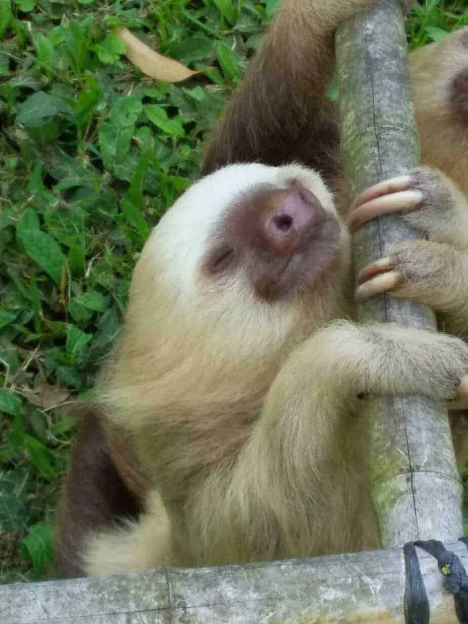 Sloth at Toucan Rescue Ranch.