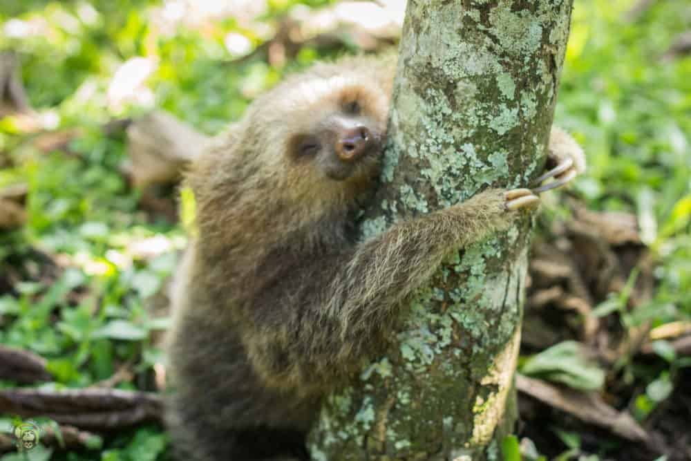 Sloth hugging a tree trunk