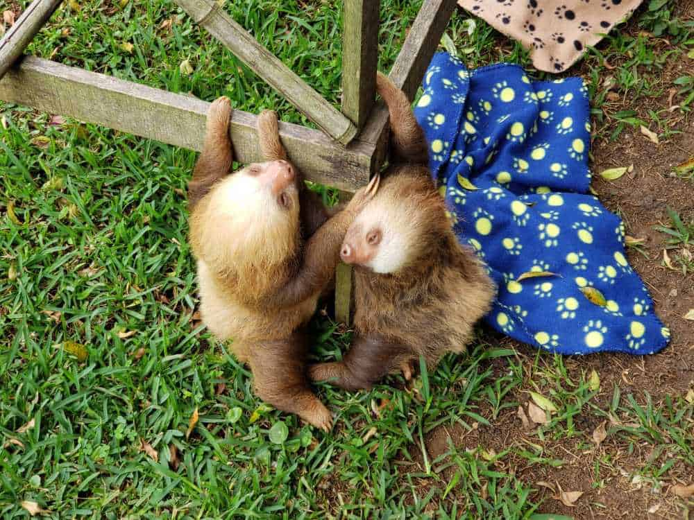 Sloths at Toucan Rescue Ranch.