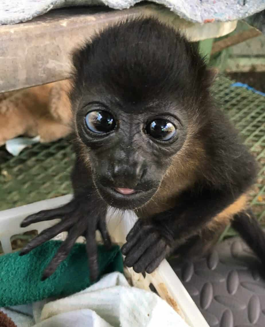 Sibu howler monkey
