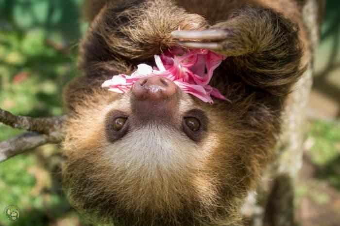 Pippin the sloth in Costa Rica