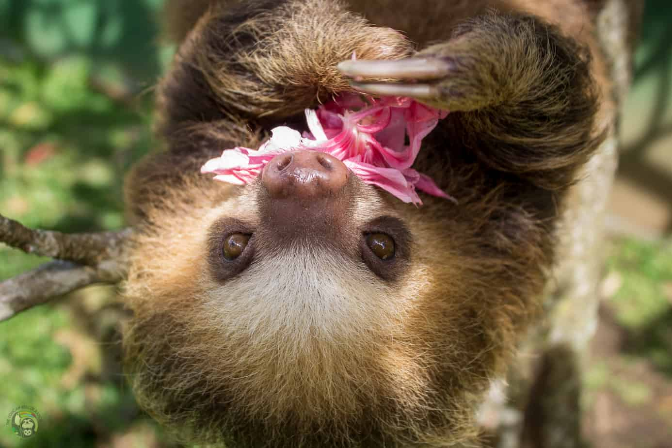 Pippin the sloth in Costa Rica
