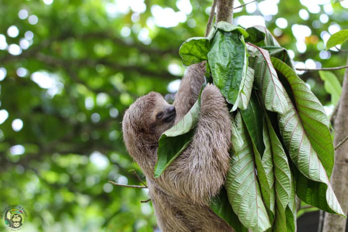 Mystique the sloth