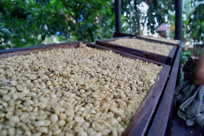 Unroasted coffee seeds.