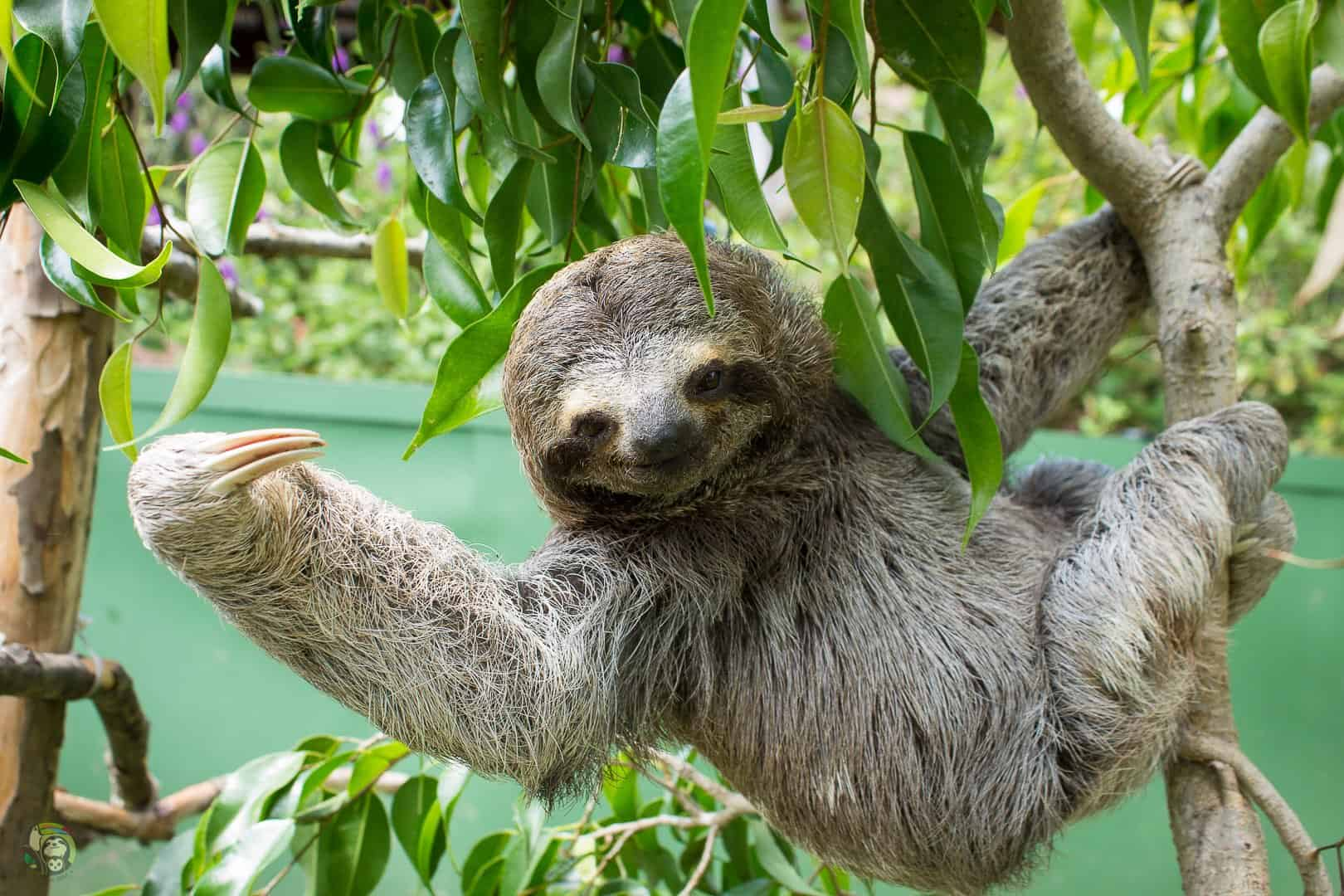 Destiny, a three-toed sloth