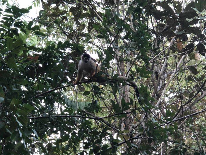 Tití Monkey