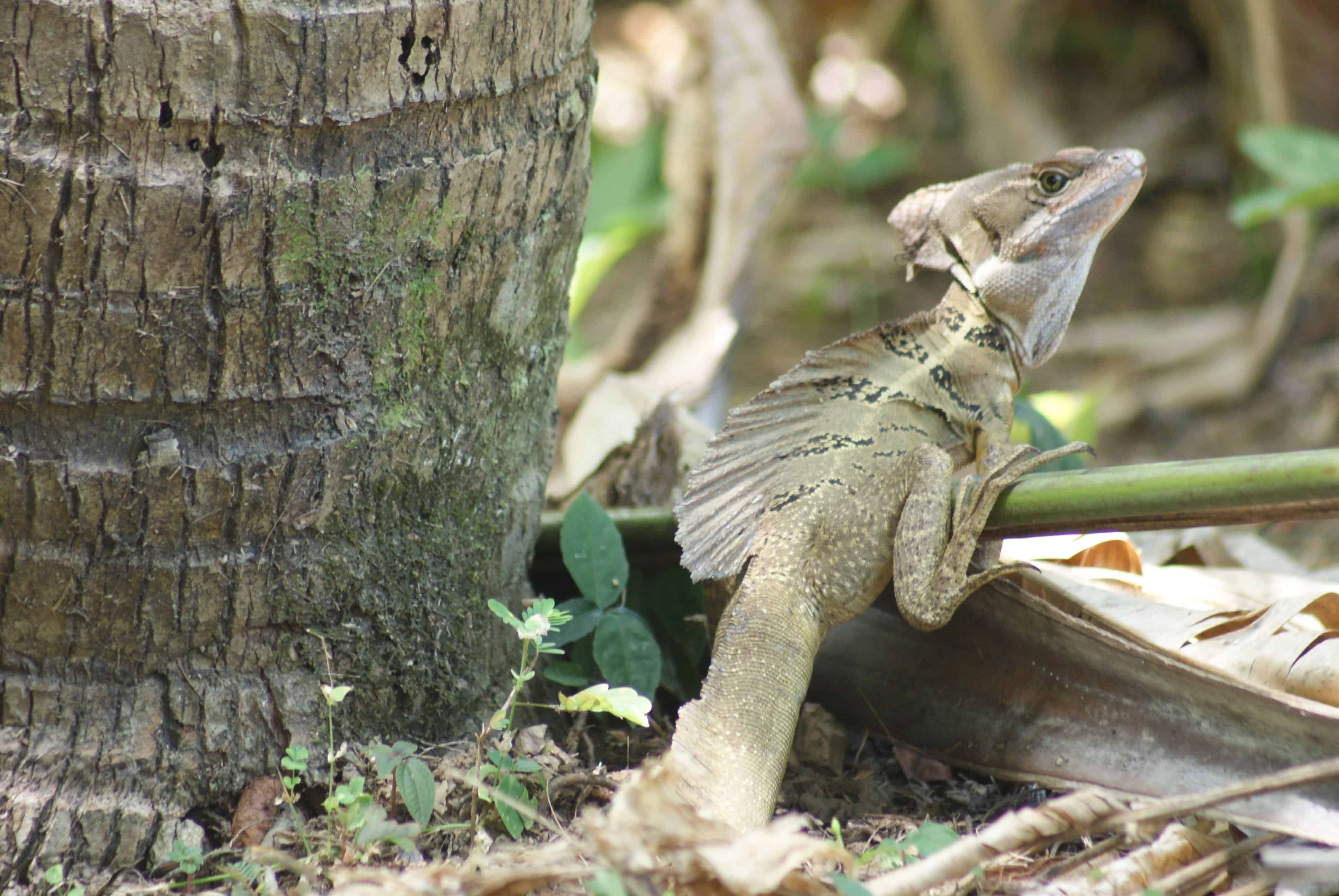 A basilisk, aka Jesus Christ lizard.