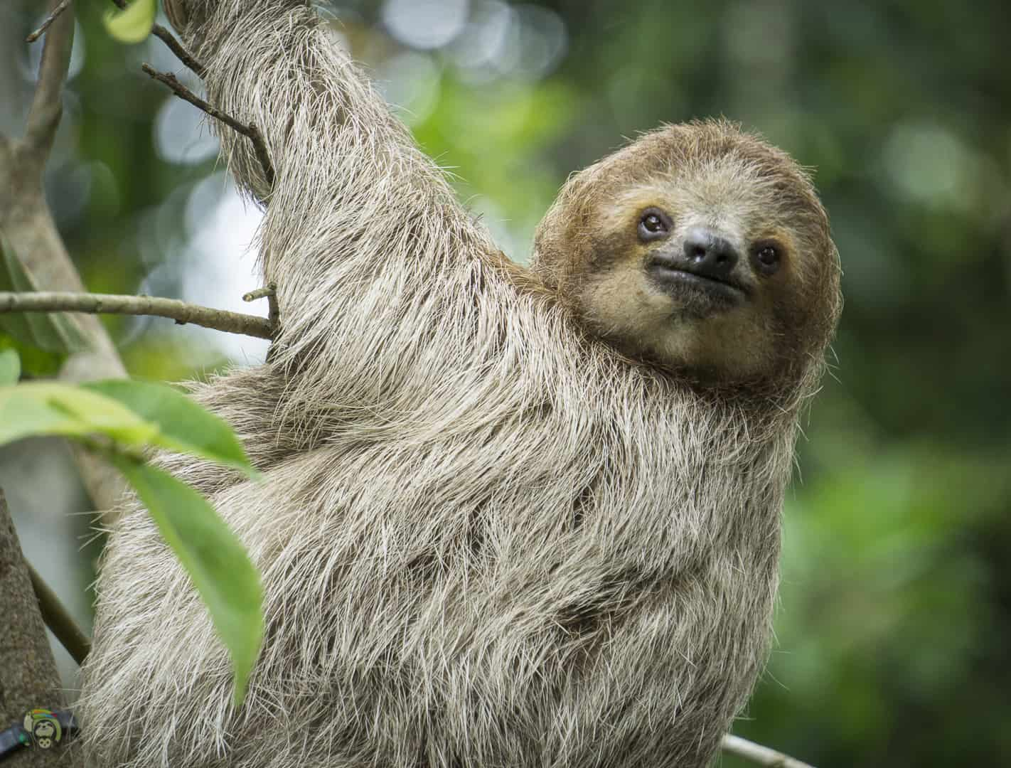 Mystique the sloth