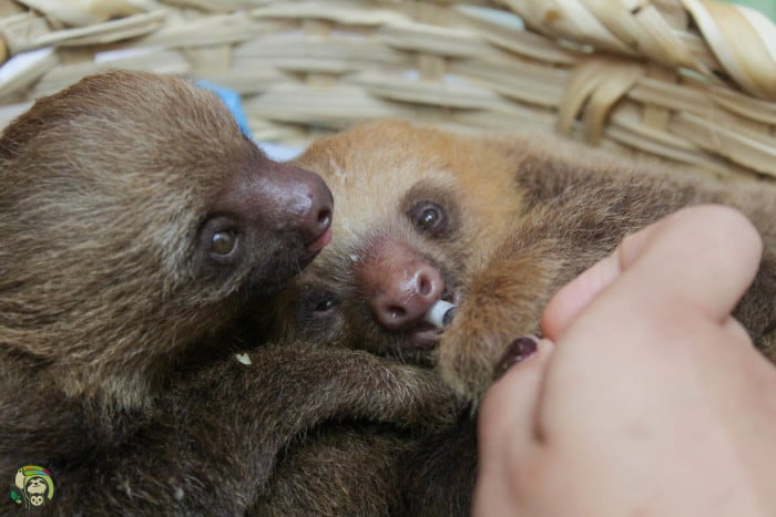 Orphaned sloths drinking.