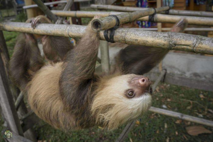 Twix the sloth