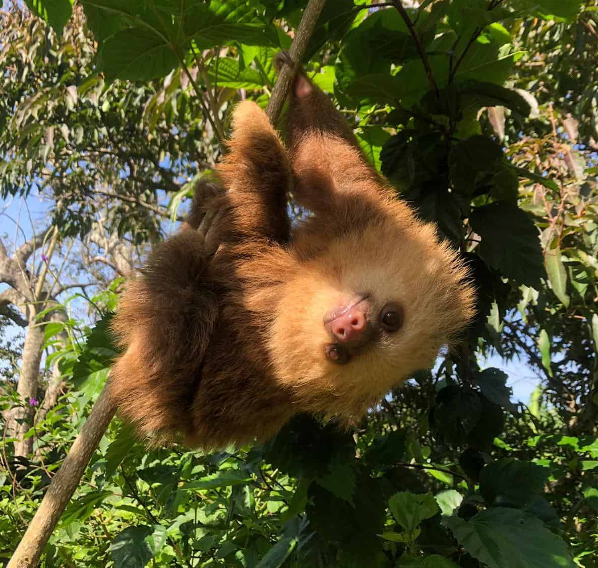 Sloth at Toucan Rescue Ranch