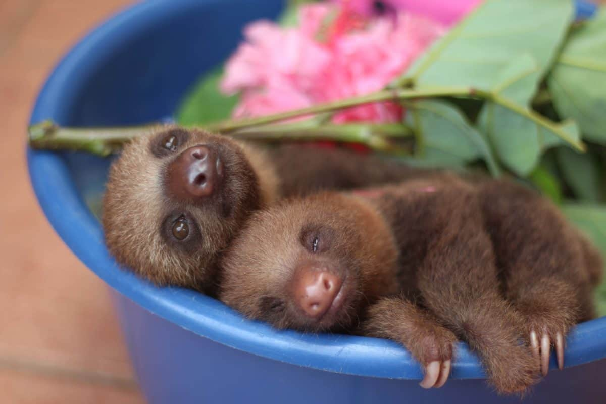 Two young sloths share a bucket at the Toucan Rescue Ranch