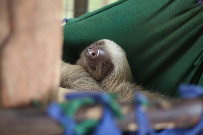 A sloth waking up from its nap at the Toucan Rescue Ranch