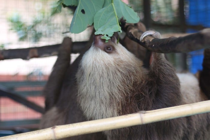 Two sloths eating from a tree in their shelter at the Toucan Rescue Ranch
