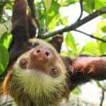 Huey the sloth