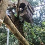 Tamandua resting in a tree