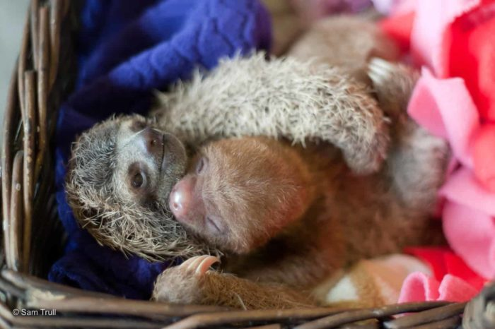 Two- and three-fingered sloths hug