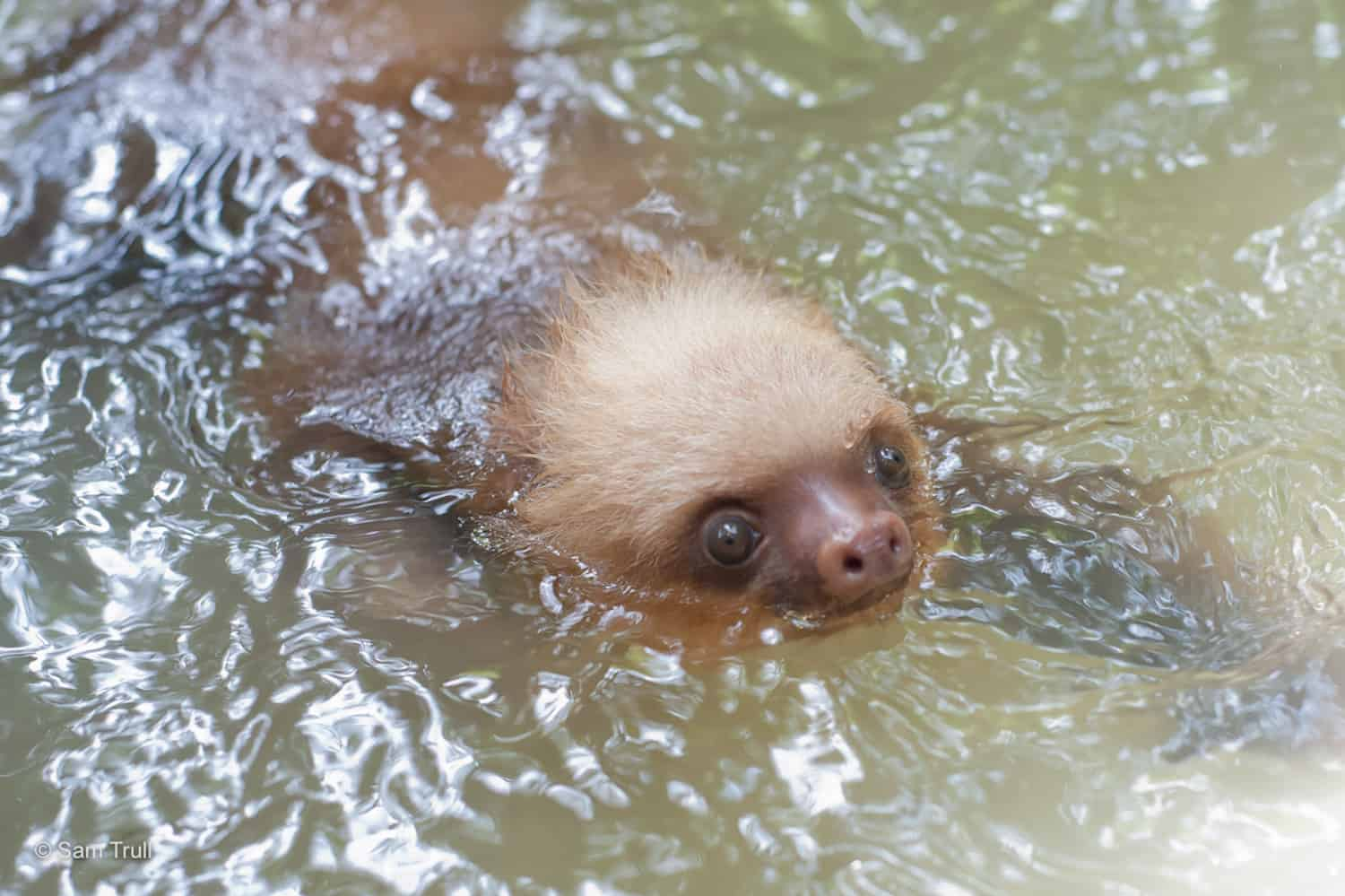 Sloths are excellent swimmers