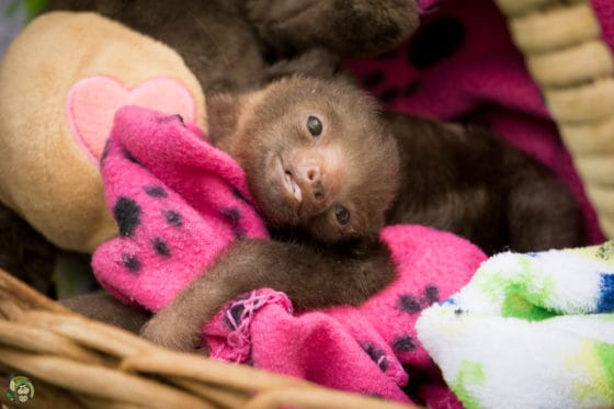 Rolo the sloth