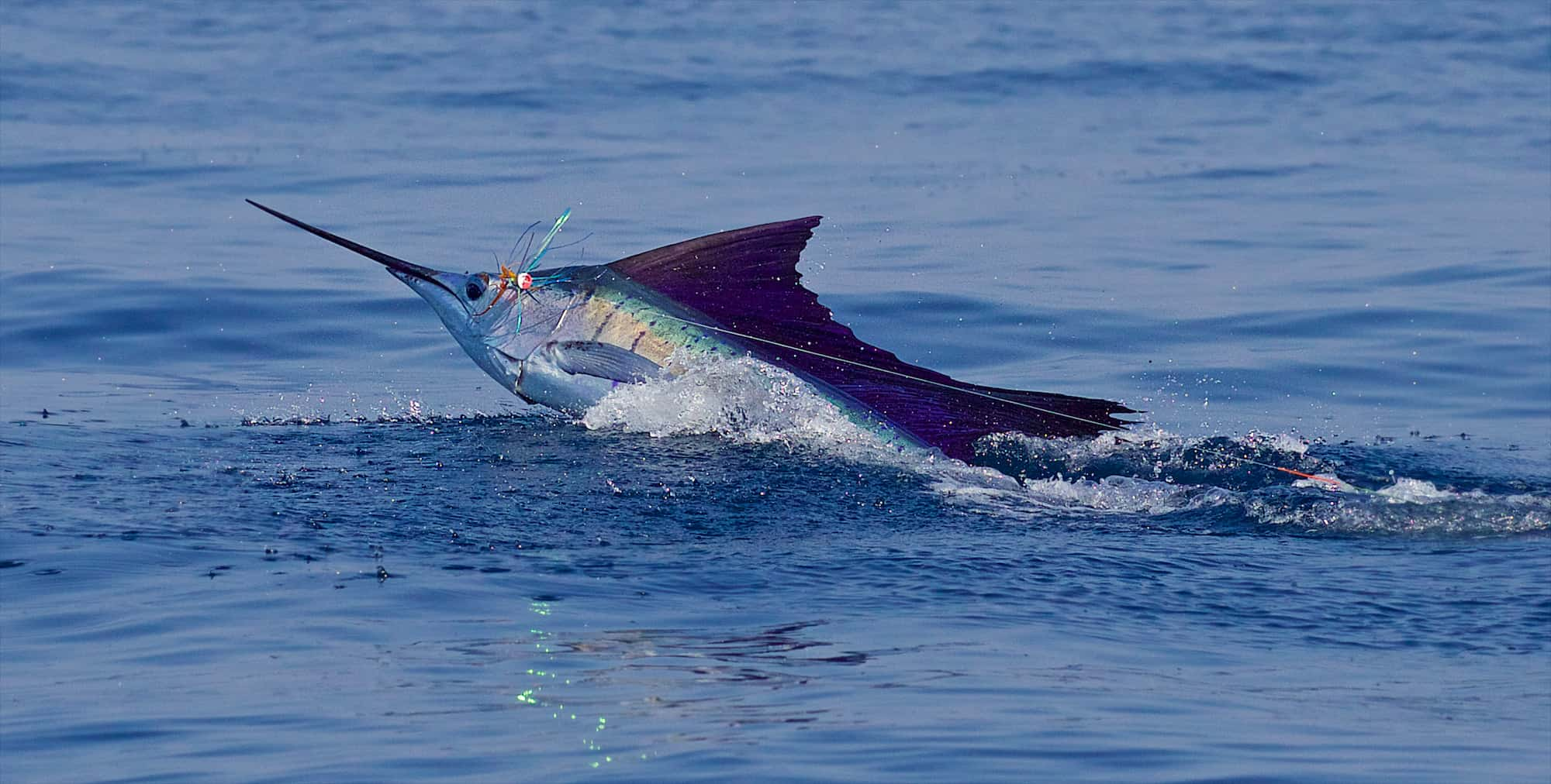The acrobatics of a sailfish in Costa Rica