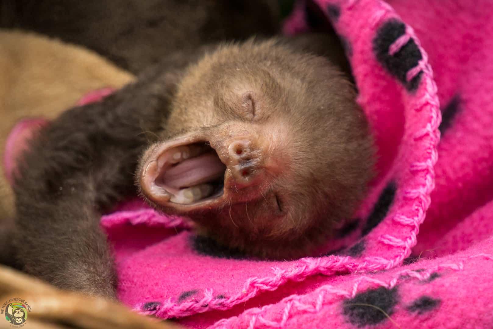 Rolo the sloth in Costa Rica