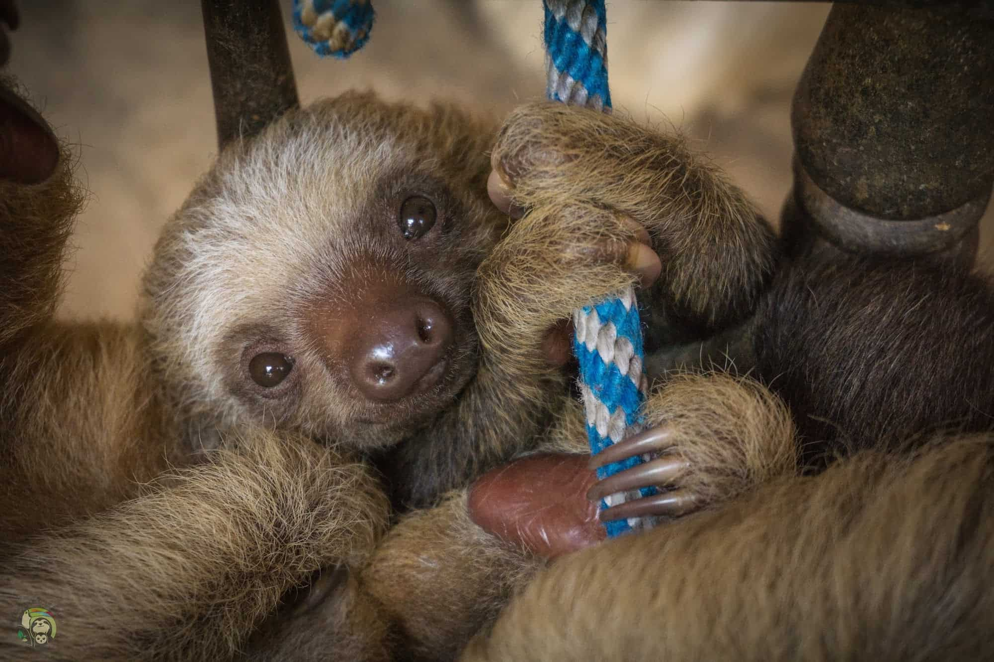 Arya, a two-fingered sloth in Costa Rica