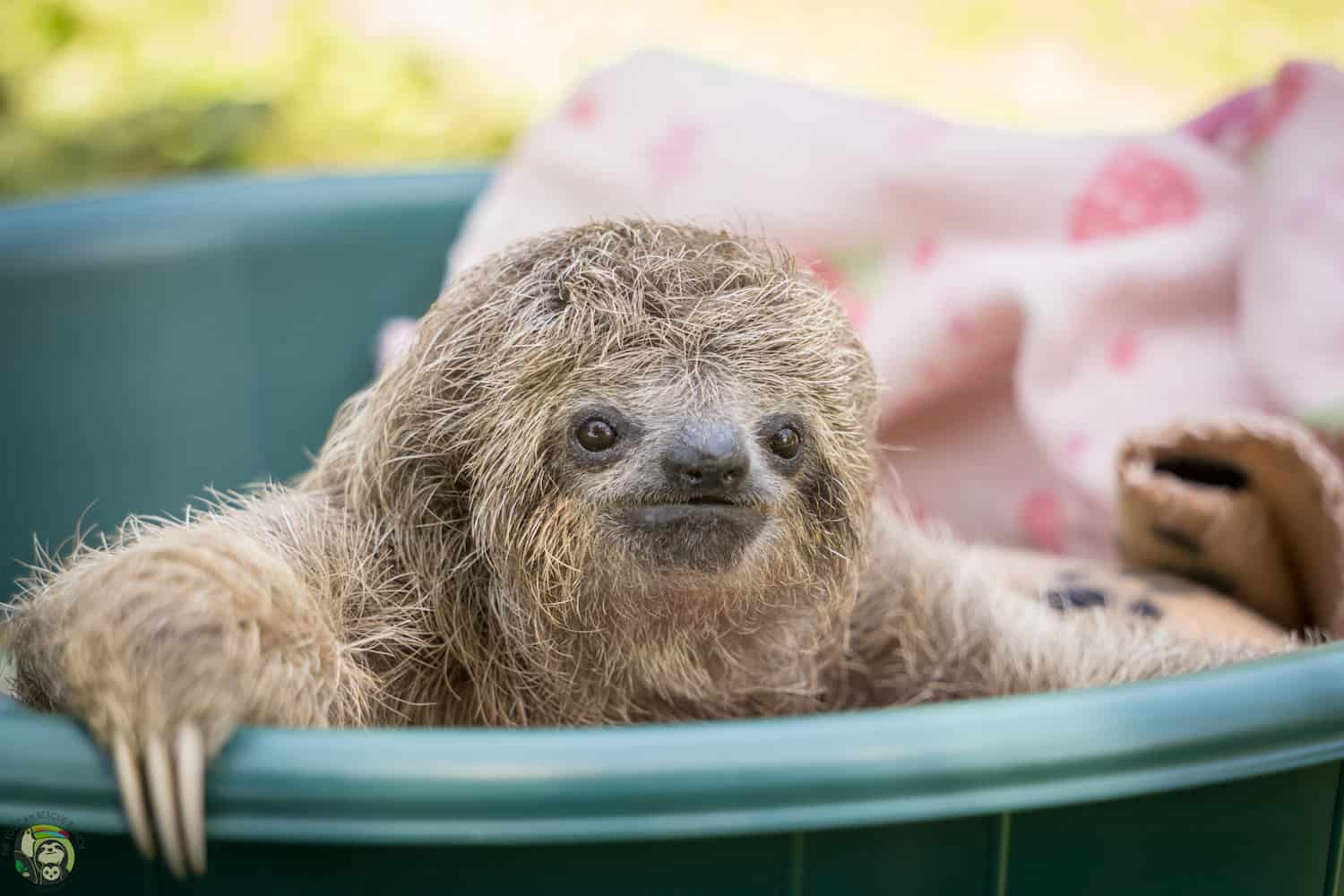 Eclipse the sloth at Toucan Rescue Ranch in Costa Rica